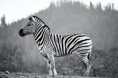 The Wine Country Zebra